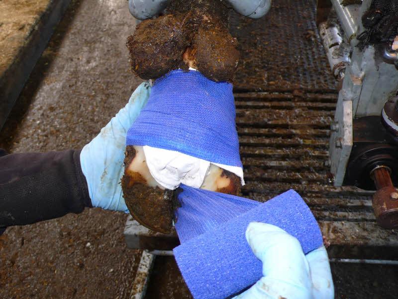 Bei Verwendung von Novaderma-Paste brauchen die Kühe für wenige Tage einen Verband.