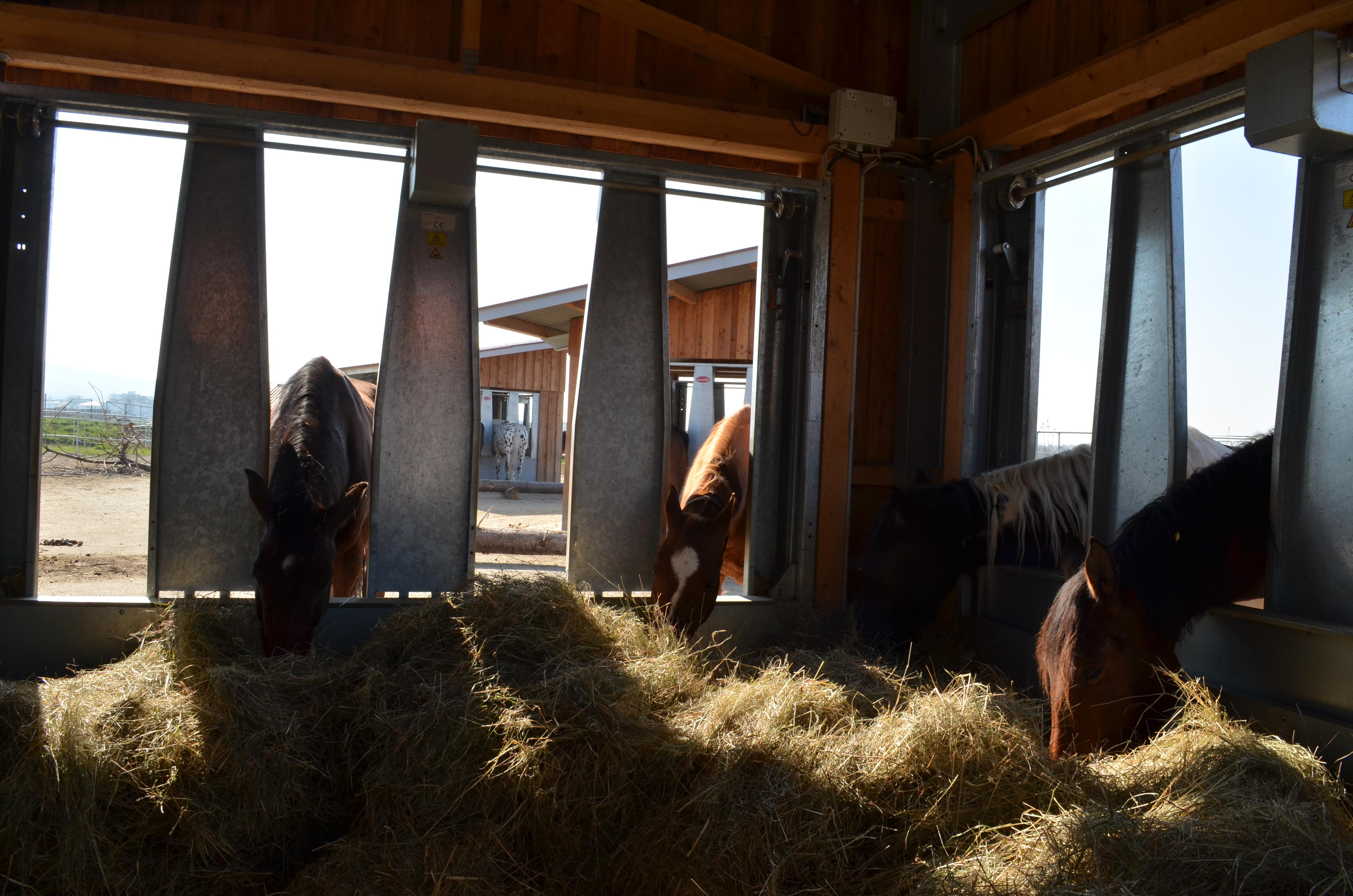 Die Pferde fressen Heu ohne Netze.